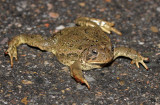 Woodhouse's Toad 2014-10-09