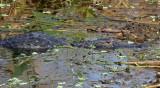 American Alligator 2014-12-08