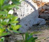 American Crocodile 2014-12-13