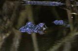 American Alligator 2014-12-13
