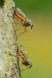 Gewone snipvliegen