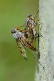 Paring gewone snipvliegen