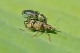 Bladsnuitkevers