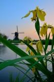 Gele lis bij avondlicht