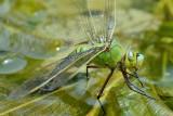 Grote keizerlibel eierleggend
