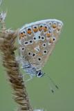 Icarusblauwtje met dauwdruppels