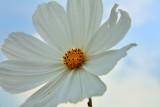 Witte cosmea