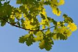 Eikenbladeren