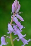 Boshyacint