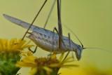 Phanoptera