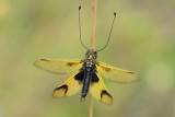Vlinderhaft