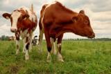 Koe met stier