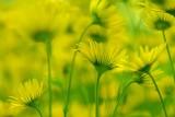 Voorjaarszonnebloem