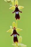 Vliegenorchis