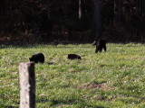 8554.Black Bears
