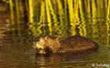 Beavers, California Delta 7