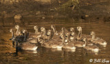 Canada Geese  11