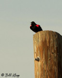 Red Winged Black Bird  2