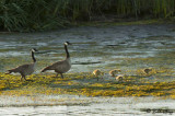 Canada Geese  13