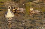 Mallard Duck Family  12