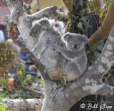 Koala Bear,  San Diego Zoo  2