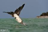 Diving Brown Pelican, Varadero  1