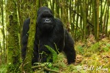 Mountain Gorilla,  Kwitonda Gorilla Group  5