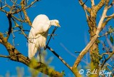 Great Egret, 20