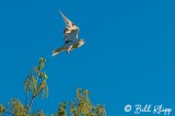 White Tailed Kite  2