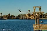 Cormorant, Discovery Bay 2