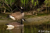 Canada Geese  15