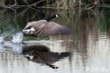 Canada Geese  14