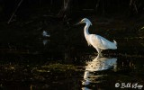 Snowy Egret  27