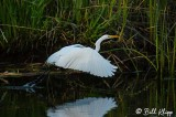 Great Egret   23