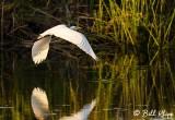 Great Egret   24
