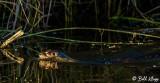 River Otter, Indian Slough  4