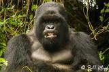 Silverback Mountain Gorilla,  Kwitonda Gorilla Group  3