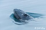 Humpback Whale, Greenland  1