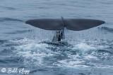 Sperm Whale Fluke, Greenland  2