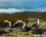 Waved Albatross,  Isla Espanola  2