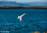 Arctic Tern, Flatey Island