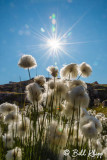 Arctic Cotton.  Ilulissat  1