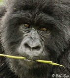 Mountain Gorillas, Hira Group  11