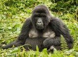 Mountain Gorillas, Hira Group  10