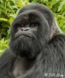 Mountain Gorillas, Hira Group  7