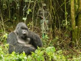 Mountain Gorilla,  Kwitonda Gorilla Group