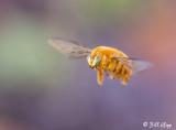 Male Valley Carpenter Bee, (Xylocopa varipuncta) 1