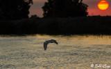 Great Egret Sunset  1