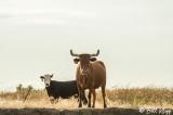 Kellogue Creek Cows  1