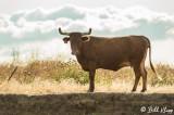 Kellogue Creek Cow  2